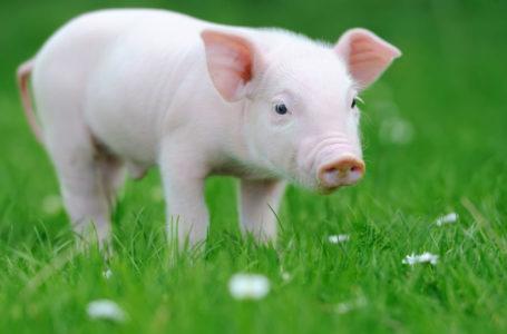 چرا مسلمانان گوشت خوک نمی خورند؟