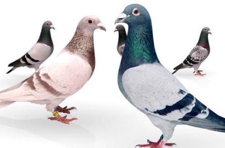 گوشت پرندگان